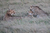 Cheetah_Family_Phinda_2016_0099