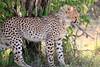 Cheetah_Cubs_Mara_Kenya_Asilia_20150027