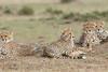 Cheetah_Family_Portraits_Mara_Kenya_Asilia_20150030