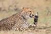 Cheetah_Mara_Asilia_Kenya0047