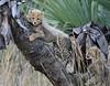 Cheetah Phinda South Africa-28