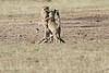 Cheetah_Cub_Playing_Mom_Mara_Kenya_Asilia_20150016