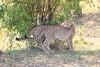 Cheetah_Cubs_Mara_Kenya_Asilia_20150058