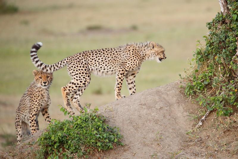Cheetah_Cubs_Mara_Kenya_Asilia_20150126