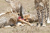 Cheetah_Feast_Mara_Kenya_Asilia_20150259