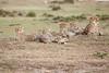 Cheetah_Family_Portraits_Mara_Kenya_Asilia_20150019