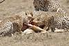 Cheetah_Feast_Mara_Kenya_Asilia_20150263