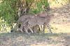 Cheetah_Cubs_Mara_Kenya_Asilia_20150059