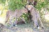 Cheetah_Cubs_Mara_Kenya_Asilia_20150042