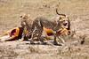 Cheetah_Feast_Mara_Kenya_Asilia_20150029
