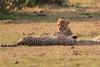 Cheetah_Cubs_Mara_Kenya_Asilia_20150223