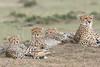 Cheetah_Family_Portraits_Mara_Kenya_Asilia_20150044