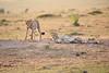 Cheetah_Cubs_Mara_Kenya_Asilia_20150113