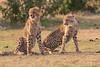 Cheetah_Cubs_Mara_Kenya_Asilia_20150231
