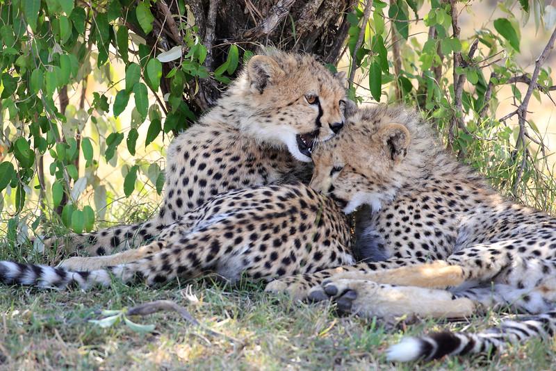 Cheetah_Cubs_Mara_Kenya_Asilia_20150068