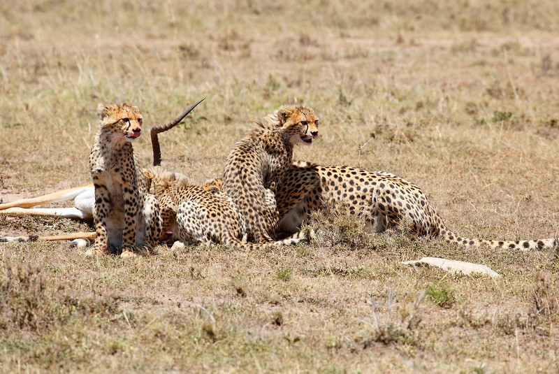 Cheetah_Feast_Mara_Kenya_Asilia_20150096
