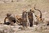 Cheetah_Feast_Mara_Kenya_Asilia_20150026