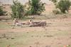 Cheetah_Cubs_Mara_Kenya_Asilia_20150102