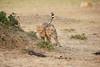 Cheetah_Cubs_Mara_Kenya_Asilia_20150166