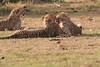 Cheetah_Cubs_Mara_Kenya_Asilia_20150270