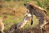 Cheetah_Adventure_Phinda_2016_0037