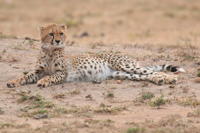 Cheetah_Cubs__Mara_Kenya_Asilia_20150015