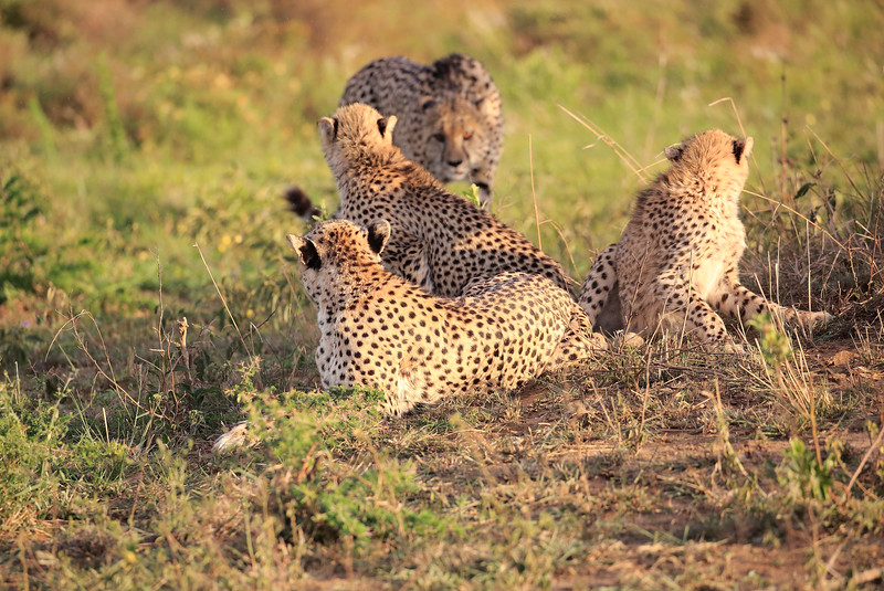Cheetah_Adventure_Phinda_2016_0050