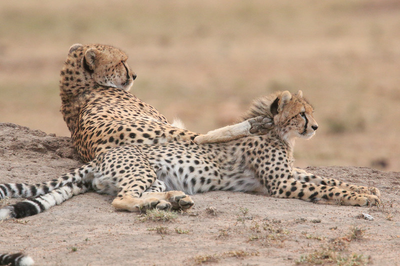 Cheetah_Cubs__Mara_Kenya_Asilia_20150016