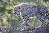 Cheetah_Family_Phinda_2016_0119
