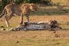 Cheetah_Cubs_Mara_Kenya_Asilia_20150185