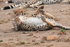 Cheetah_Cubs__Mara_Kenya_Asilia_20150020