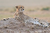 Cheetah_Cubs__Mara_Kenya_Asilia_20150010