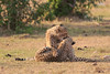 Cheetah_Cubs_Mara_Kenya_Asilia_20150210