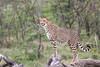 Cheetah_Mara_Asilia_Kenya0006