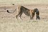 Cheetah_Cub_Playing_Mom_Mara_Kenya_Asilia_20150003