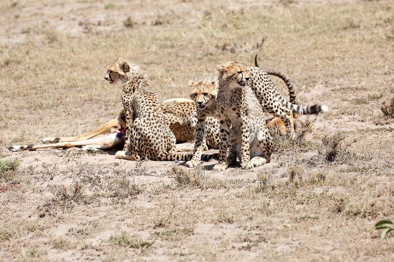 Cheetah_Feast_Mara_Kenya_Asilia_20150020