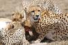 Cheetah_Feast_Mara_Kenya_Asilia_20150242