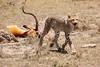 Cheetah_Feast_Mara_Kenya_Asilia_20150030