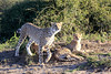 Cheetah_Family_Phinda_2016_0028