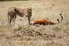 Cheetah_Feast_Mara_Kenya_Asilia_20150194