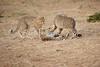Cheetah_Cubs_Mara_Kenya_Asilia_20150159