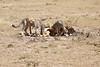 Cheetah_Feast_Mara_Kenya_Asilia_20150214