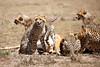 Cheetah_Feast_Mara_Kenya_Asilia_20150219