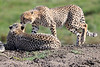Cheetah_Family_Phinda_2016_0155