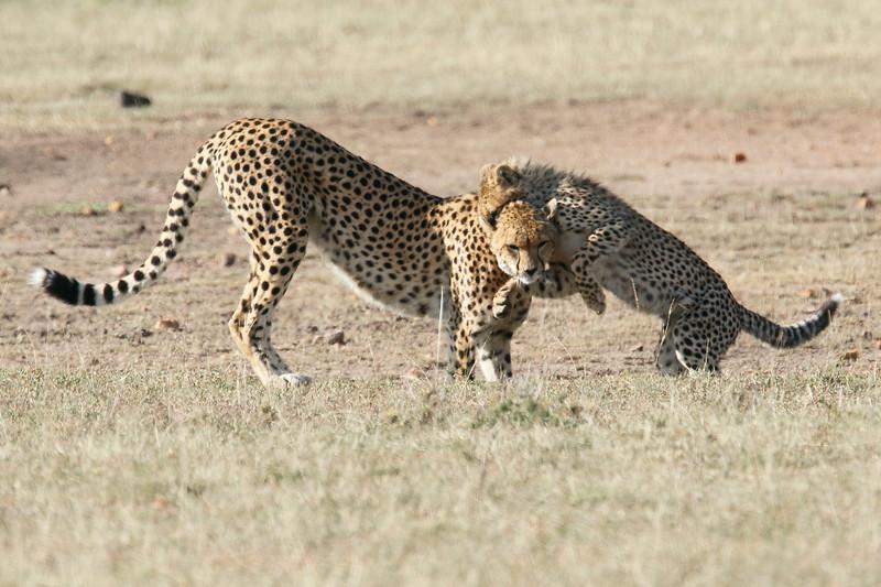 Cheetah_Cub_Playing_Mom_Mara_Kenya_Asilia_20150007