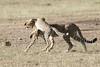 Cheetah_Cub_Playing_Mom_Mara_Kenya_Asilia_20150015