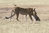 Cheetah_Cub_Playing_Mom_Mara_Kenya_Asilia_20150001