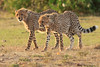 Cheetah_Cubs_Mara_Kenya_Asilia_20150246