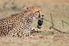 Cheetah_Mara_Asilia_Kenya0044