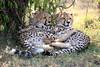 Cheetah_Cubs_Mara_Kenya_Asilia_20150095